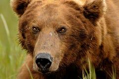 Alaskan Grizzly Bear Portrait Royalty Free Stock Photos