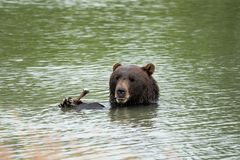 Alaskan grizzly bear sits in the water, eating a stick with his two paws and claws, giving a goofy silly sad look with his lips. In summertime stock images
