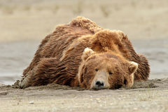 Alaskan Grizzly Bear Sleeping on the Beach Stock Photography
