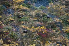 Alaskan grizzly bears. Foraging in the tundra Royalty Free Stock Image