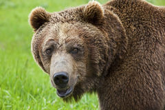 Alaskan grizzly brown bear Stock Images