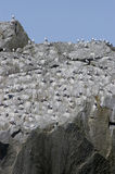 Alaskan gulls roosting on rock face. A large flock of gulls in Alaska roosting on a rock face Stock Photos