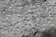 Alaskan gulls roosting on rock face. A large flock of gulls in Alaska roosting on a rock face Stock Images