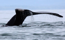 Alaskan Humpback Whale Tail. A humpback whale in Icy Straight near Hoonah, Alaska shows it's massive tail fluke as it prepares to dive Stock Photo