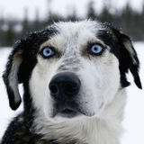 Alaskan Huskey Stock Photography