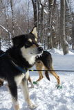 Alaskan huskies Royalty Free Stock Photography