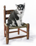 Alaskan Husky. Cute alaskan husky puppy sitting on antique red chair with peeling paint Stock Photo