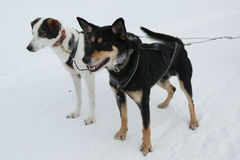 Alaskan husky at Musher Camp in Finnish Lapland Stock Photography