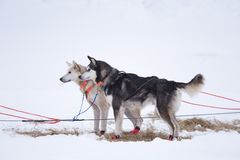 Alaskan husky sled dogs waiting for a sled pulling. Dog sport in winter. Dogs before the long distance sled dog race. Norway, Europe stock image