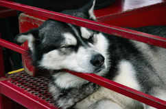 Alaskan Husky Sleeping. On wagon in Ketchikan Royalty Free Stock Photography