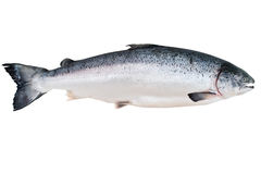 Alaskan King Salmon stock photo