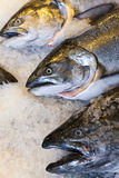 Alaskan King Salmon Fish on Ice Fishmongers Market Royalty Free Stock Photos