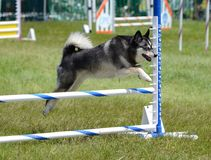Alaskan Klee Kai at Dog Agility Trial Royalty Free Stock Photos