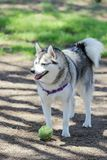 Alaskan Klee Kai. Playing with a tennis ball at a dog park royalty free stock images