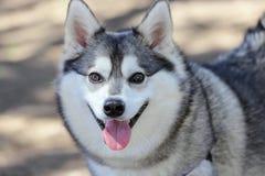 Alaskan Klee Kai. Smiling Alaskan Klee Kai at a dog park royalty free stock images