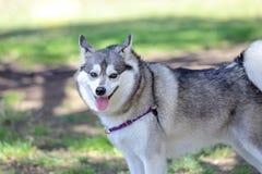 Alaskan Klee Kai. Smiling Alaskan Klee Kai at a dog park stock images