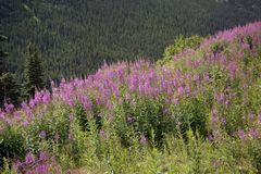 Alaskan landscape with  fireweed flowers. Alaskan landscape with pink fireweed flowers Royalty Free Stock Photo