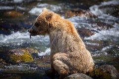alaskan lisiątko niedźwiadkowy Obraz Royalty Free