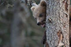 alaskan lisiątko niedźwiadkowy obraz stock