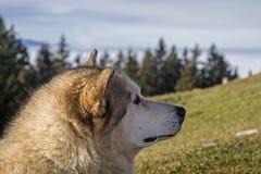 Alaskan Malamut Stock Photos