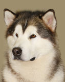 Alaskan malamute. The portrait of alaskan malamute Stock Photos