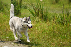 Alaskan Malamute Royalty Free Stock Photography