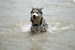 Alaskan Malamute. The Alaskan Malamute is running in the water Royalty Free Stock Photos