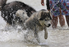 Alaskan Malamute. The Alaskan Malamute is playing in the water Royalty Free Stock Photos