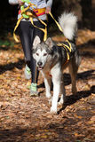 Alaskan Malamute. Sports with a dog. Canikross. Alaskan Malamute Royalty Free Stock Photography