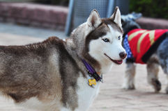 Alaskan Malamute Royalty Free Stock Photo