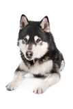 Alaskan Malamute. In front of a white background Royalty Free Stock Image