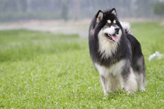 Alaskan Malamute. A beautiful black and white Alaskan Malamute dog focus at something Royalty Free Stock Image