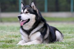 Alaskan Malamute. Laying on a grass Stock Photo