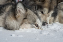 Alaskan Malamute Royalty Free Stock Images
