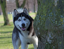 Alaskan Malamute. Playing hide-and-seek behind a tree Stock Image