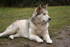 Alaskan malamute. The Alaskan malamute - recumbent dog stock images