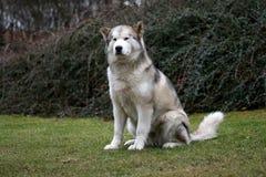 Alaskan malamute. The Alaskan malamute - sitting dog royalty free stock images