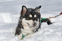 Alaskan malamute Stock Photography