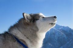 Alaskan malamute Stock Images