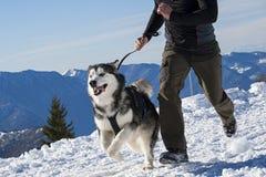 Alaskan malamute Royalty Free Stock Photo