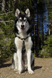 Alaskan Malamute in an alpine camping. Selective focus Royalty Free Stock Photography