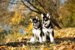 Alaskan malamute in the autumn background stock image