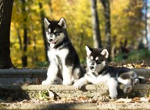 Alaskan malamute in the autumn background royalty free stock photo