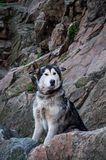 Alaskan Malamute Bonita. Dog sitting on a rock and looks toward the camera breed Alaskan Malamute Royalty Free Stock Photo