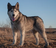 Alaskan Malamute Bonita. In the dog standing and looking towards the camera breed Alaskan Malamute Royalty Free Stock Photography
