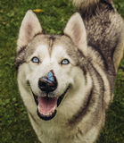 Alaskan Malamute with butterfly. Alaskan Malamute with blue eyes and blue butterfly on nose Stock Images