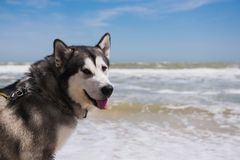Alaskan malamute closeup. Storm Sea in the background royalty free stock photography