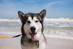 Alaskan malamute closeup. Storm Sea in the background. Dog looks into the camera stock photos