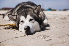 Alaskan malamute closeup. Storm Sea in the background. Dog lies on the sand stock photos