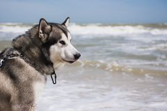Alaskan malamute closeup. Storm Sea in the background. Dog looks away royalty free stock photography